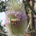 Wildbiene, wilde Karde