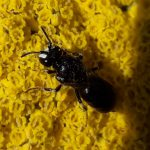 Rainfarn-Maskenbiene (7-9mm!), Hylaeus nigrtuss