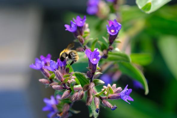 Ochsenzunge und Biene